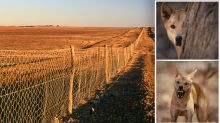 'Can't sleep at night': Controversial 'deadly' fence dividing opinion on 'wild dogs'