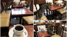 日本Cafe旁邊顧客係喵 「融入店中」超可愛