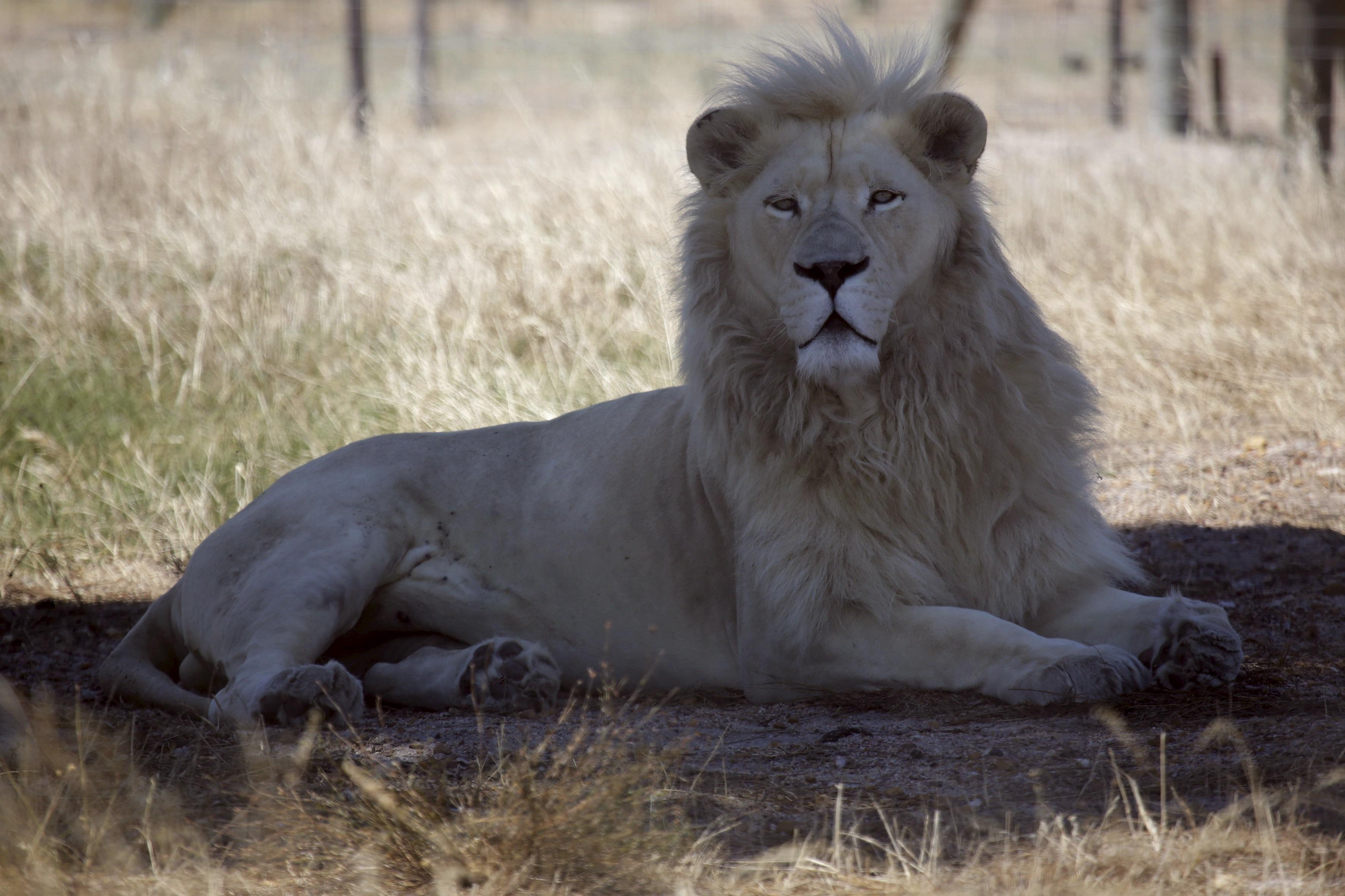 Lions Kill and Eat Suspected Poacher, Leaving Only 'His Head and Some Remains'