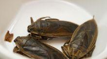 Mangiare gli insetti fa bene? La scoperta italiana: meglio dell'olio d'oliva, ec