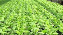 Tobacco Plants May Help Fight Ebola, Flu & More