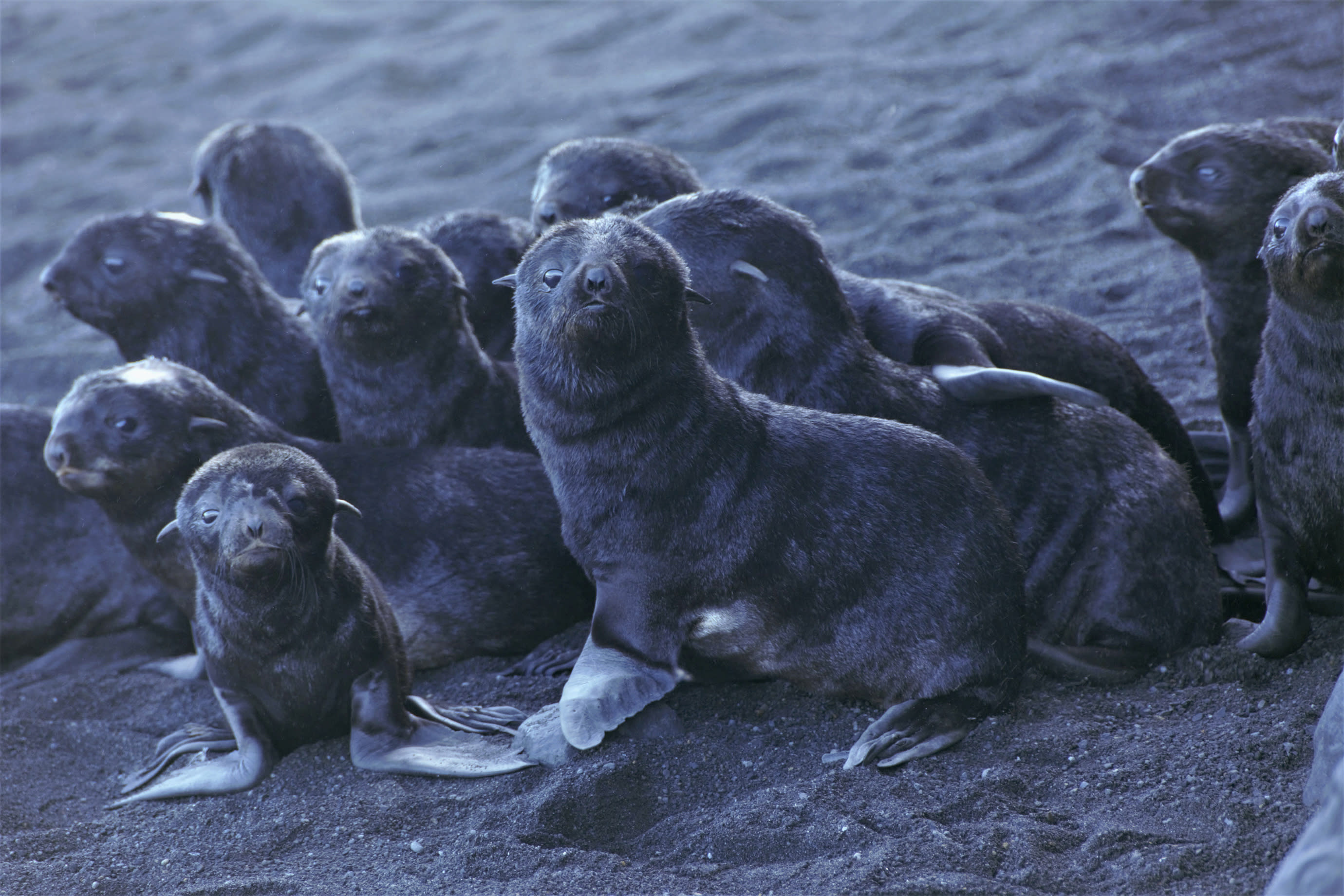 This August 2019 photo released by the National Oceanic and Atmospheric Administration Fisheries (NOAA) shows northern fur seal pups standing on a beach on Bogoslof Island, Alaska. Alaska's northern fur seals are thriving on an island that's the tip of an active undersea volcano. Numbers of fur seals continue to grow on tiny Bogoslof Island despite hot mud, steam and sulfurous gases spitting from vents on the volcano. (Maggie Mooney-Seus/NOAA Fisheries via AP)