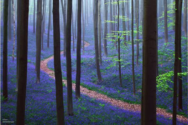 攝影師Kilian Schönberger所記錄的晨霧中的哈勒森林,景色相當夢幻。(圖片來源/boredpanda 攝影/Kilian Schönberger)