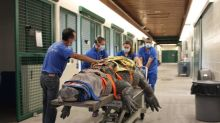 This 660-pound alligator is having trouble moving his leg. UF vets are treating him