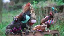 El 'must' invernal: ¡Jerseys para gallinas!