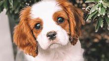 Doce síntomas que indican que tu perro está enfermo