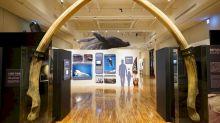 「朗氏喙鯨」全身骨骼  國內首度公開