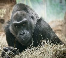 Goodnight, Colo! Oldest Gorilla in the US Dies in Sleep