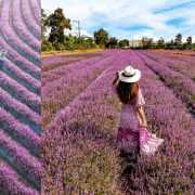 紫色仙境傳說!台版普羅旺斯花海在桃園