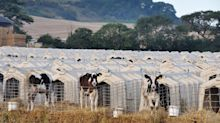 Dairy is scary. The public are waking up to the darkest part of farming | Chas Newkey-Burden