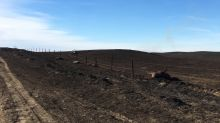 Number of cattle dead after Sask. wildfires climbs to 750