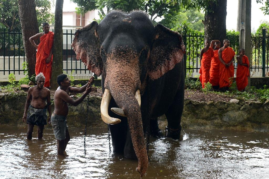 Elephants are considered sacred and are protected by law in Sri Lanka, but a Buddhist monk and a judge are among dozens under investigation for poaching baby jumbos, often after killing their mothers (AFP Photo/Lakruwan Wanniarachchi)