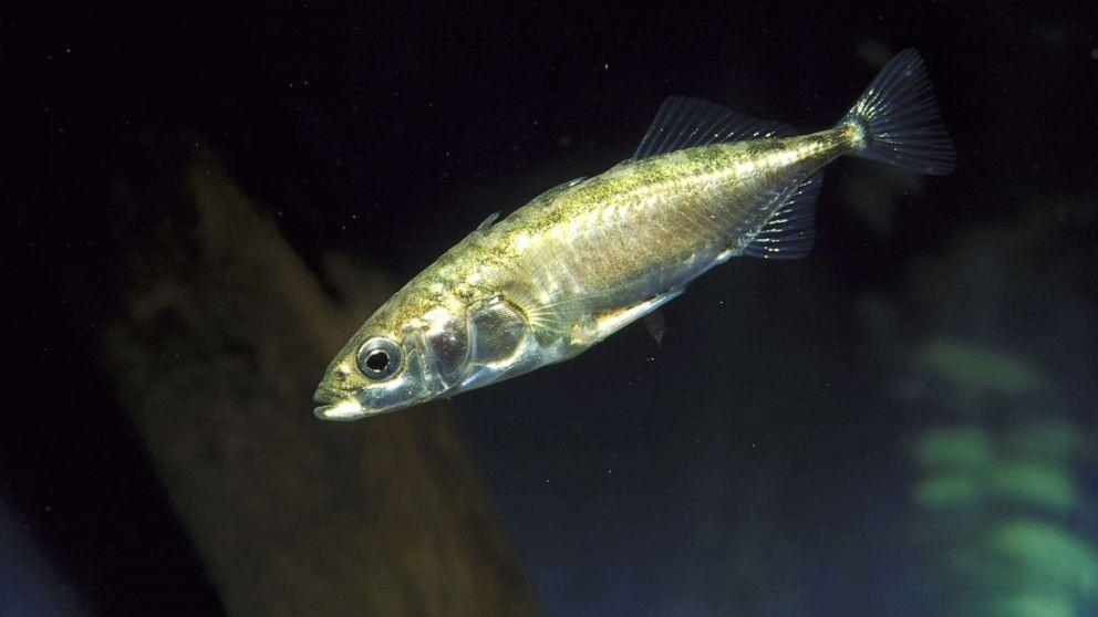 Lithium treatments used for bipolar disorder shown to help fish fight parasite