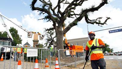Auburn prunes poisoned Toomer's Corner oak trees