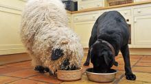 Meet the sheep who is having to have lessons on being a sheep because he thinks he's a dog