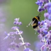 Minnesota sets broadest U.S. limits on chemicals blamed for bee declines