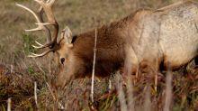 California Coastal Commission endorses Point Reyes ranch, elk plan