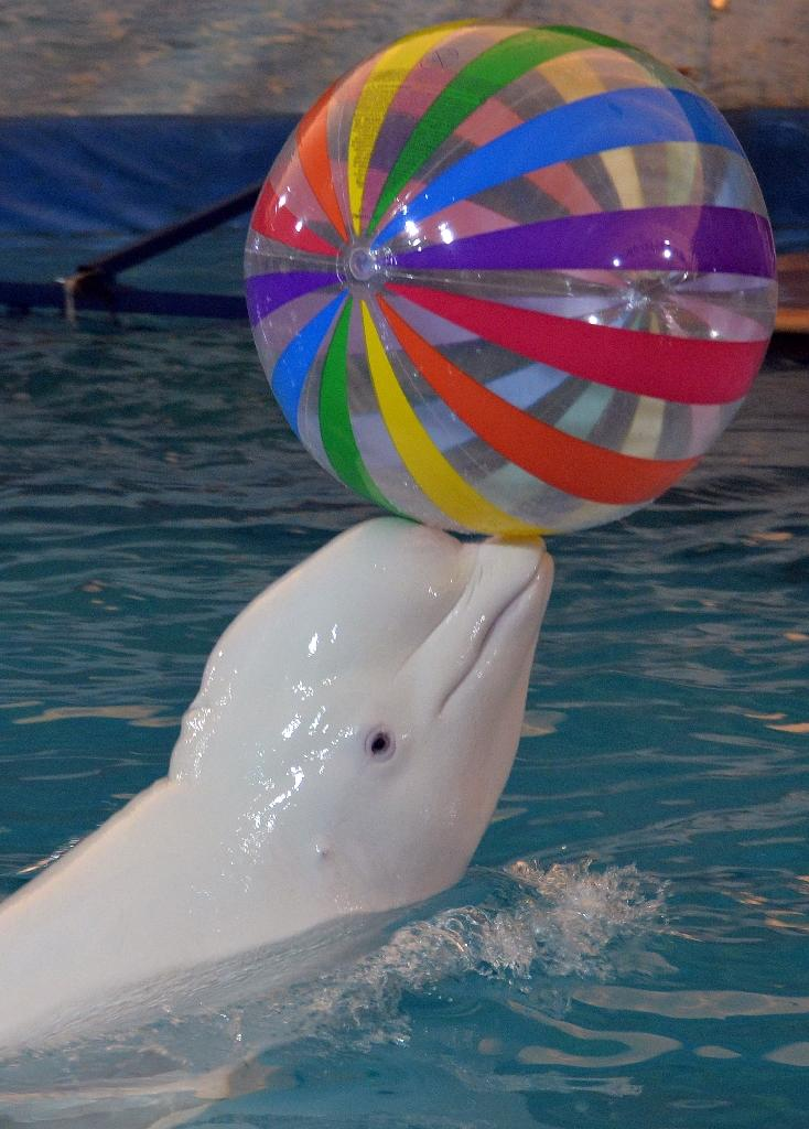 A beluga whale performs at the Moscow Travelling Dolphinarium in Bishkek (AFP Photo/Vyacheslav Oseledko)