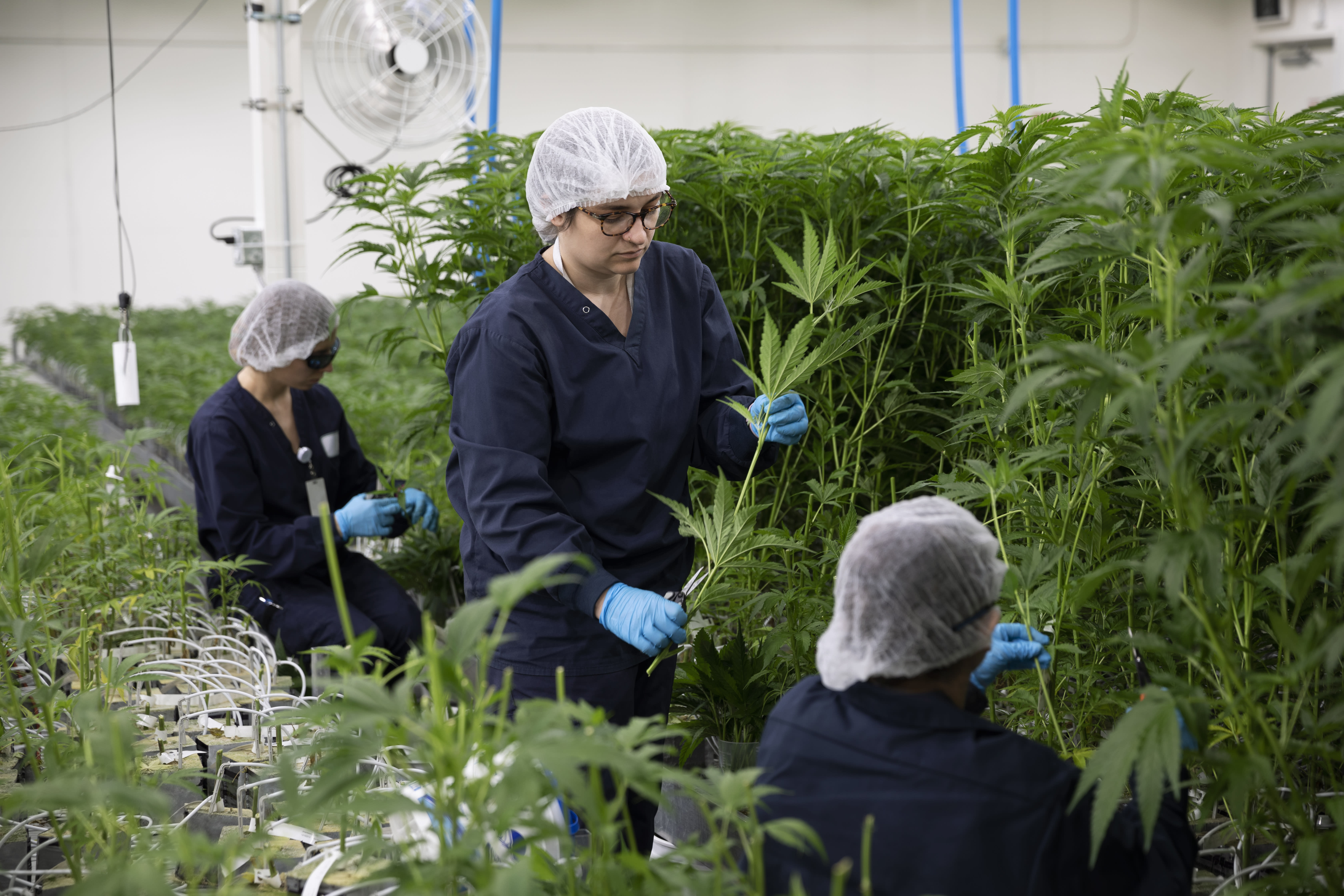 Cannabis 'value Play' Stock Could Become A Top Five