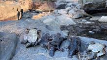 Climate Change Has Put Australian Mammal Platypus on 'Brink of Extinction', New Study Reveals