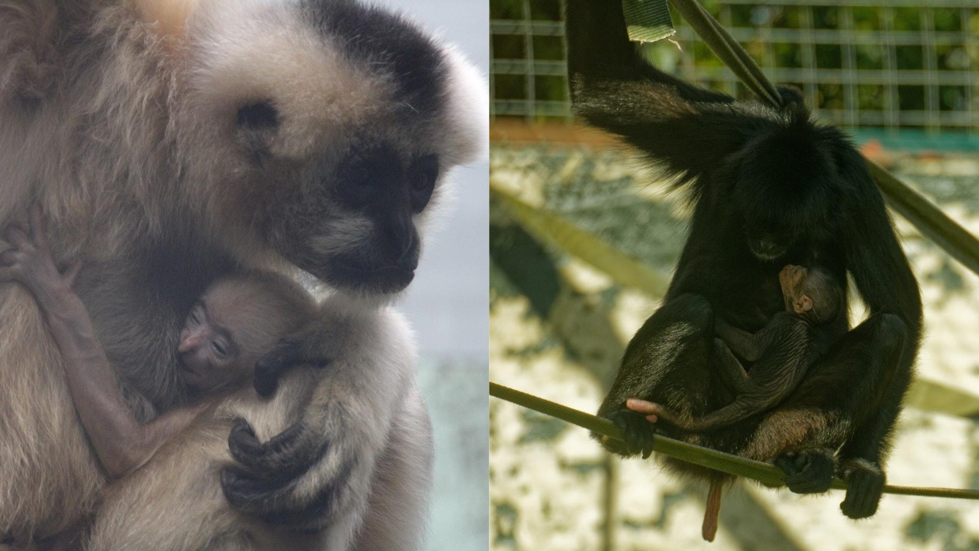 Births of two babies from endangered monkey species celebrated at Twycross Zoo