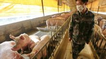 China making progress in rebuilding pig population, but supply gap likely to last at least until 2021