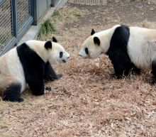 Bashful Tokyo pandas mate after four-year hiatus