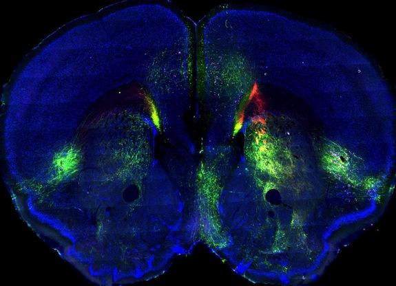 Green and red fluorescent dyes trace two different pathways in the mouse brain, part of a new map of connectivity in the mammalian cortex.