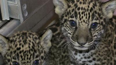 Rare Jaguar Cubs Born at Milwaukee Zoo