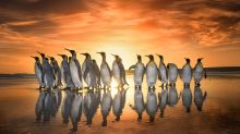 Breathtaking shots of king penguins marching in golden sunrise