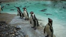 London Zoo keepers save premature penguin chick