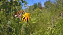 'The entire species could become extinct': Crowdfunding underway to save Manitoba butterfly