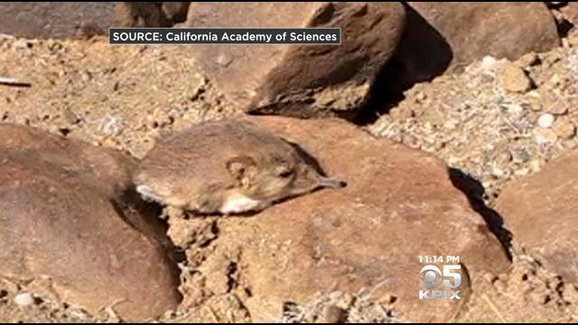 Scientists At California Academy Of Sciences Discover New Mammal