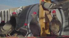 """""""Esto es crueldad animal"""": grupo pro-Trump suelta palomas con sombreros y peluca en Las Vegas"""