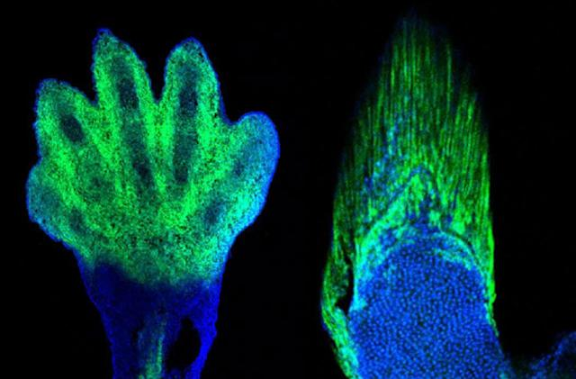 Gene editing helps spot evolutionary link between fins and hands