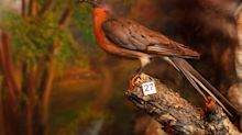 From five billion to zero: the passenger pigeon – and other beautiful animals driven to extinction