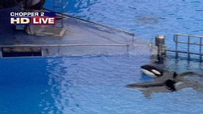 Whale That Killed Trainer Returning To SeaWorld Shows