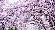 春日限定韓國櫻花,3大賞櫻「打卡」勝地