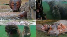 FOTOS | Hipopótamo bebé cautiva en Guadalajara
