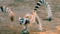 Exploring the 'Island of Lemurs: Madagascar'