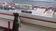 Wer braucht da schon Mäuse: Diese Katze hat einen Metzger