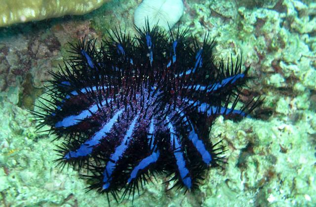 Autonomous robosub hunts starfish with poison-tipped needles