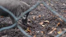 Observan por primera vez a cerdos usando herramientas