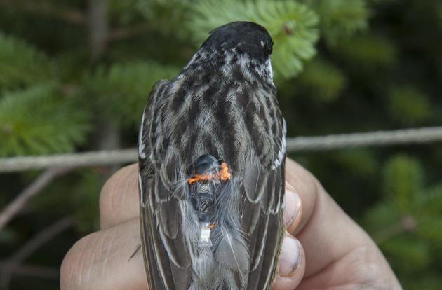 Tiny geolocators track birds flying 1,600 miles across the Atlantic