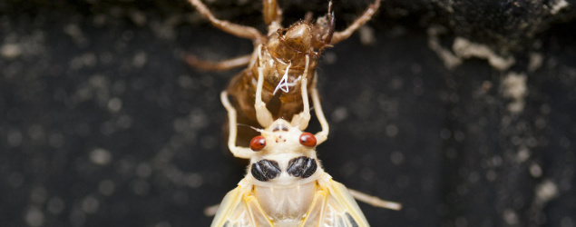 A cicada in North Branford, Conn. (New York Times)