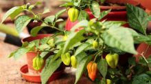 Some like it hot: fire up the spiciness of your chillies