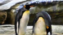 Alemania: dos pingüinos machos adoptaron un huevo y podrían ser padres en septiembre