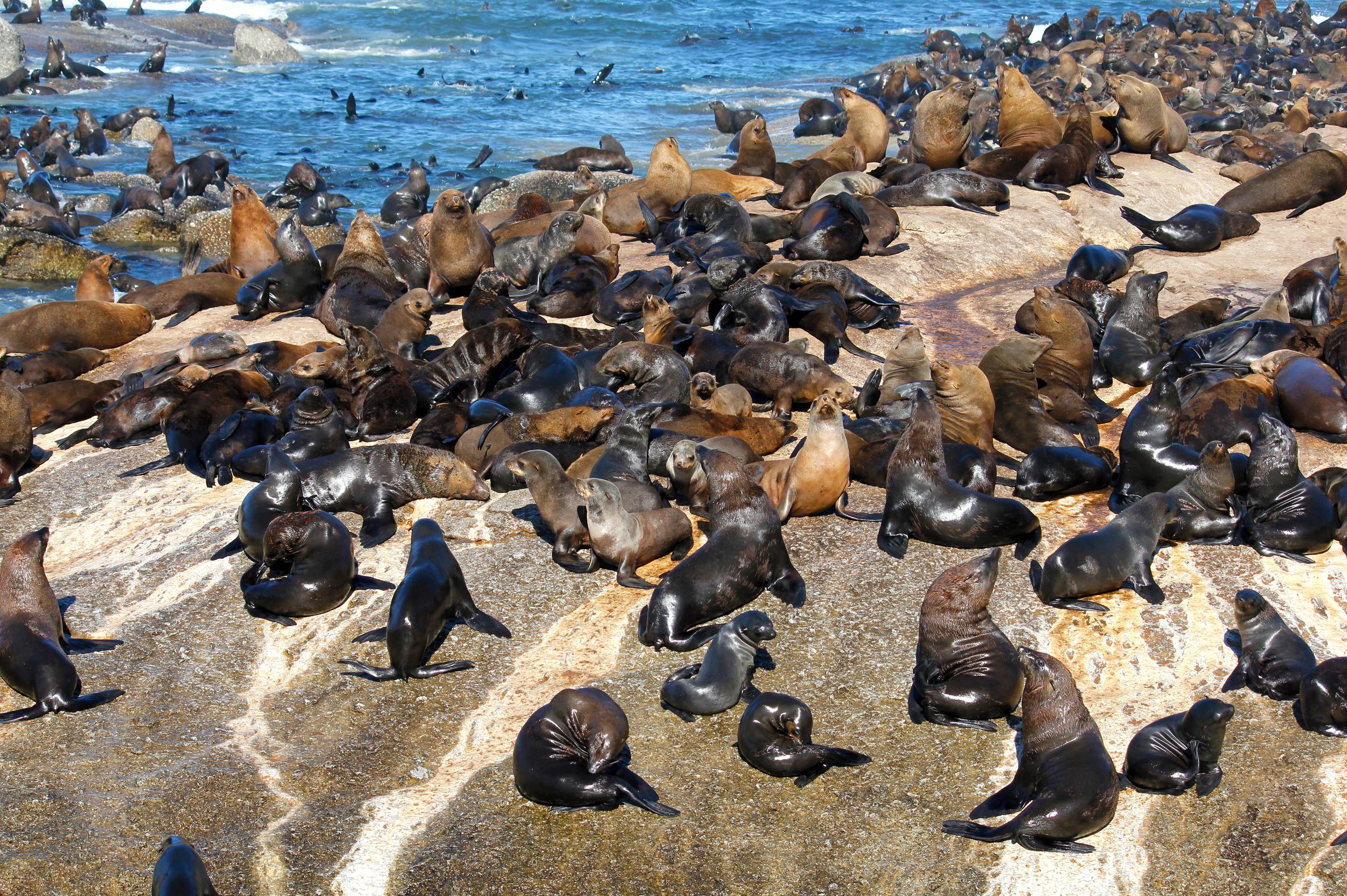 """<p>Located just a few kilometres off the northern beaches of False Bay, near <a href=""""http://aol.co.uk/travel/guides/cape-town/"""">Cape Town</a>, Seal Island is home to approximately 65,000 Cape Fur Seals. The island is a popular feeding ground for the great white shark and lucky visitors may see the fish breaching in pursuit of its prey. Seal Island is like a sea of brown bodies stretching and hauling themselves along the rocks. It is too rocky to disembark but well worth observing from a boat.</p>"""