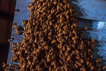 Colony of Italian worker bees congregate outside their hive while pollinating a blueberry field near Columbia Falls, Maine