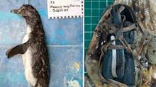 Disturbing find in dead penguin's stomach